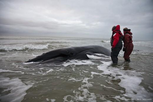 Zondag 16 december 2012 gingen Andre van Gemmert, medewerkers van de Sea Shepherds en Black Fish, en bultrug expert Laura Lauta van Aysma met een snelle boot naar de Razende Bol, om de toestand van de bultrug te inspecteren. Tot hun verdriet troffen ze het dier dood aan. Dat betekende dat de geplande reddingsacties moesten worden afgeblazen. Fotograaf Nico Jankowski