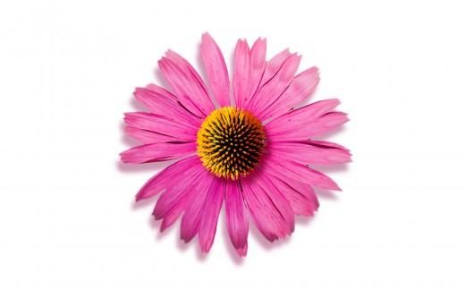 Echinacea bloem