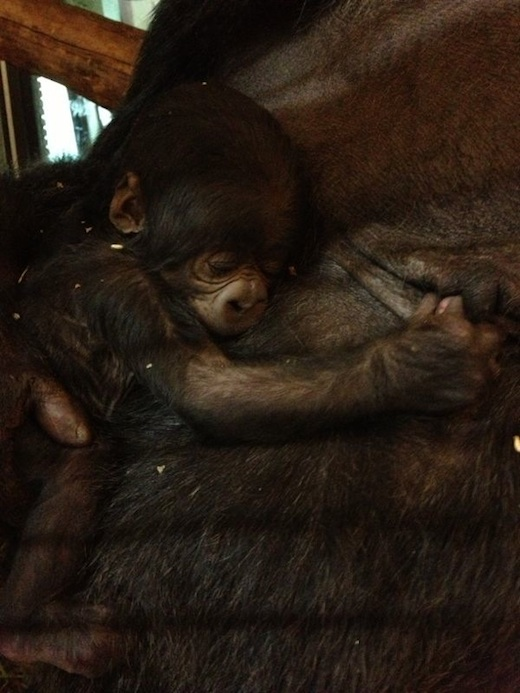 Gorilla geboren in GaiaZOO, Dalila, jong kopie