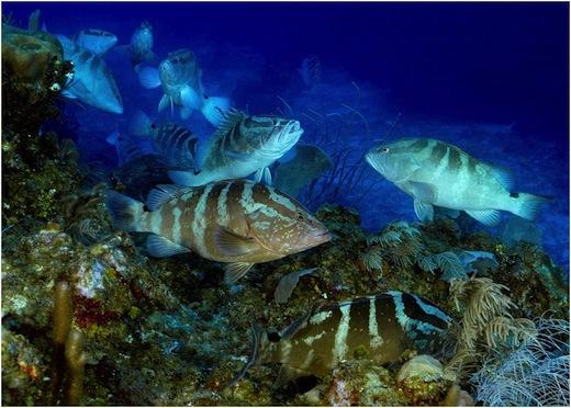 The Nassau grouper, Epinephelus striatus, Enric Sala, SCRFA