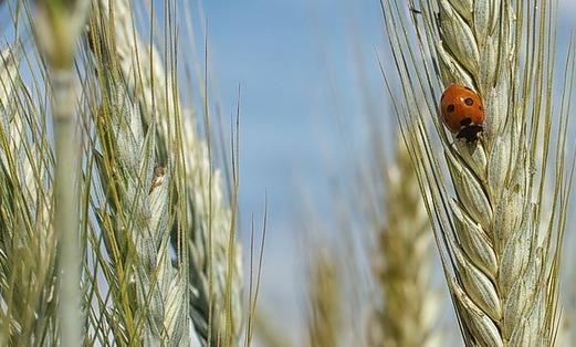 Korenveld, Lieveheersbeestje