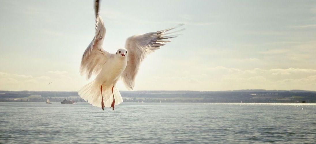zeemeeuw