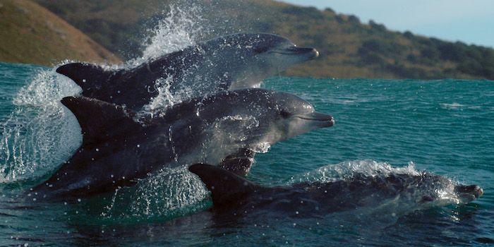 Blue Planet 2 Dolfijn