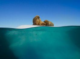 Blue Planet 2 Walrus