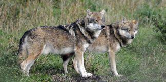 Terugkeer van de wolf