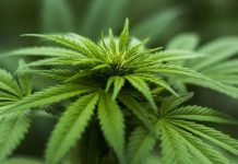 Hennep, Cannabis
