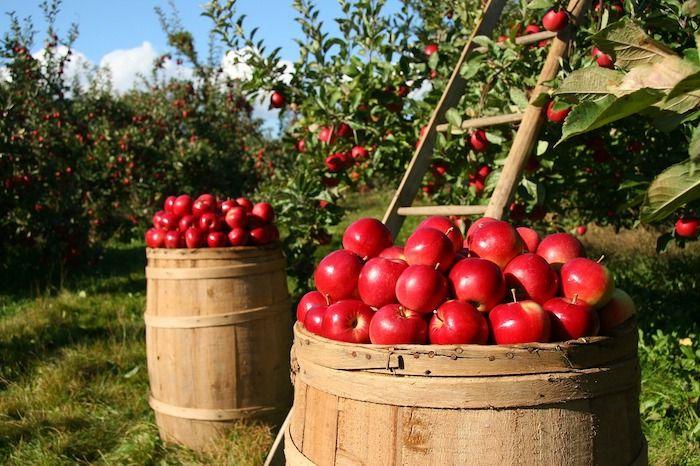 fruitteelt appels