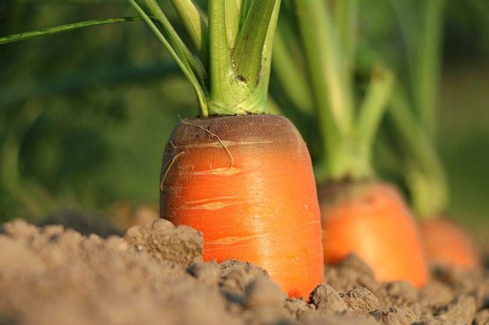 tuinbouw wortel