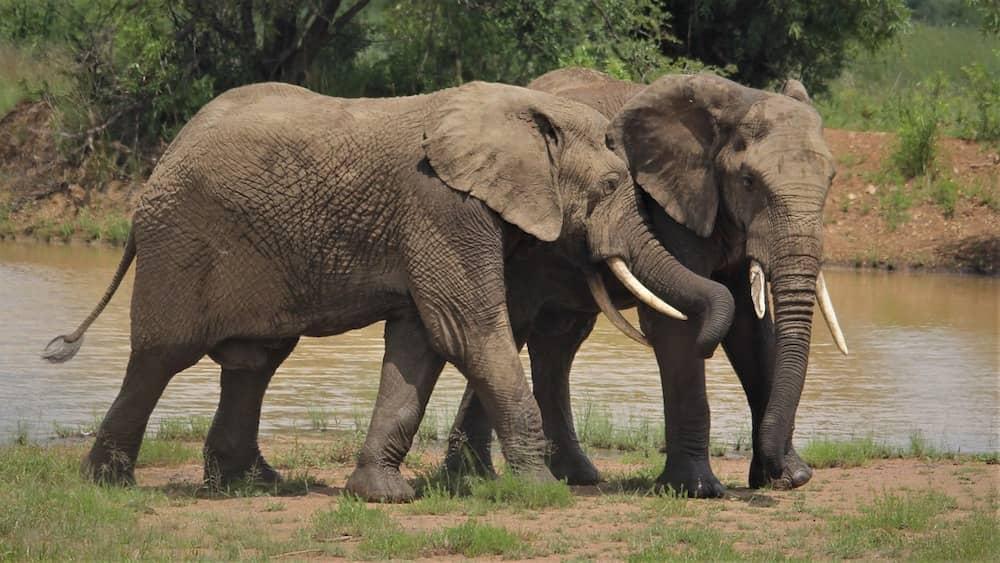 olifanten-ivoor-slagtanden