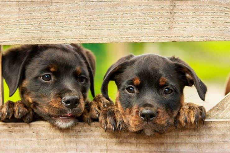 Twee rottweiler puppies kijken tussen het hek door